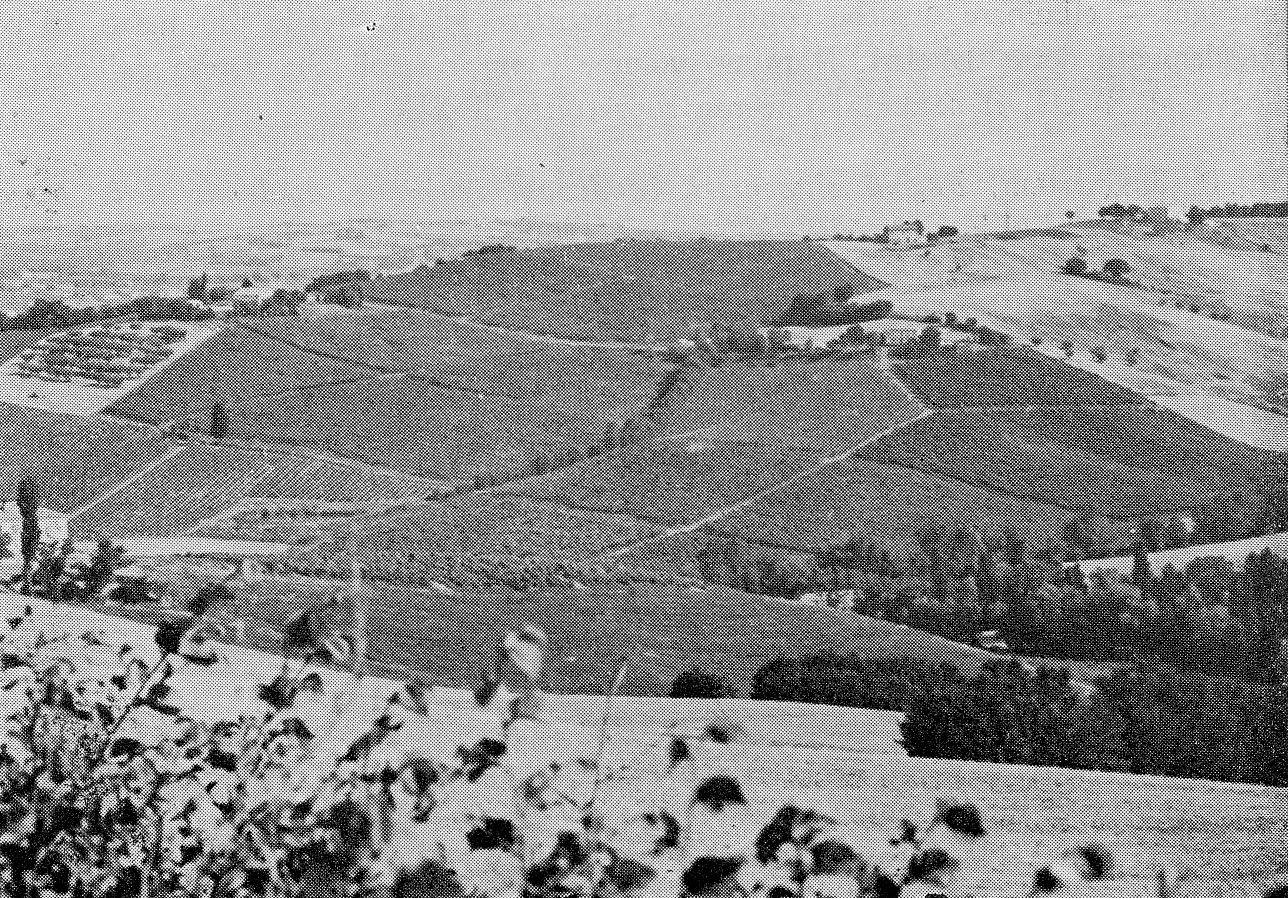 Estesi vigneti industriali, di recente impianto, accanto ad un oliveto tradizionale (a sinistra) ed a seminativi nudi (a destra) (Proposte e Ricerche, 1978)