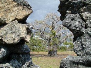 Dalle rovine di Kaole spunta la sagoma inconfondibile di un Baobab