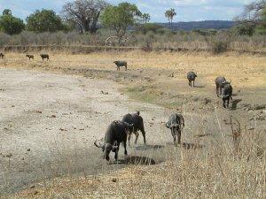 Bufali in marcia sul letto di un fiume al Ruaha