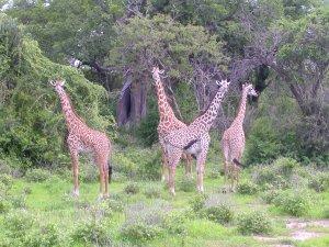 Giraffe al pascolo dopo le prime piogge