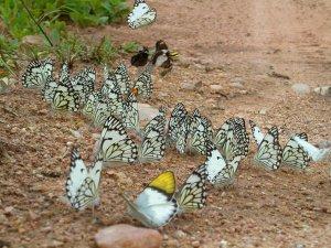 Raduno di farfalle