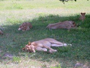Giovani leonesse si riposano all'ombra