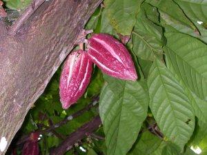 Il bel frutto del cacao coltivato tra le spezie a Zanzibar