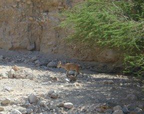 Capra ibex nubiana (riserva naturale di Ein Gedi)