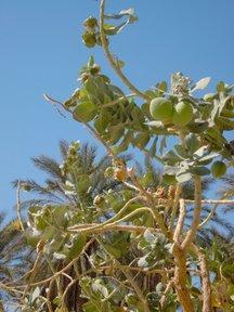 Calotropis procera (Riserva naturale di Ein Gedi)