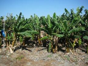 Coltivazioni di banane (valle del Giordano)