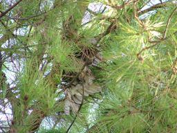 Gufo morto sospeso tra i rami di un Pino (Pinus pinea) - settembre 2008