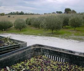 Olive e olivi